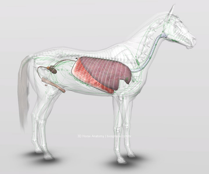 Veterinary: Horse Respiratory and male reproductive system