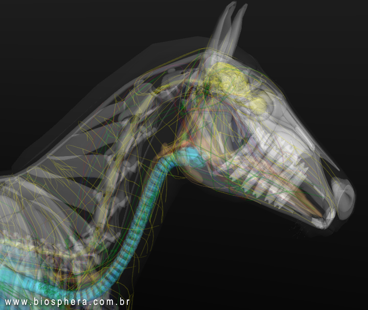 Veterinary Anatomy:Horse Head