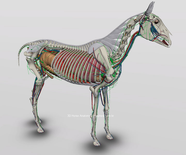 anatomia interna do cavalo 3d