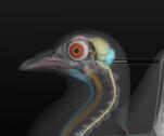cerebelo de ave