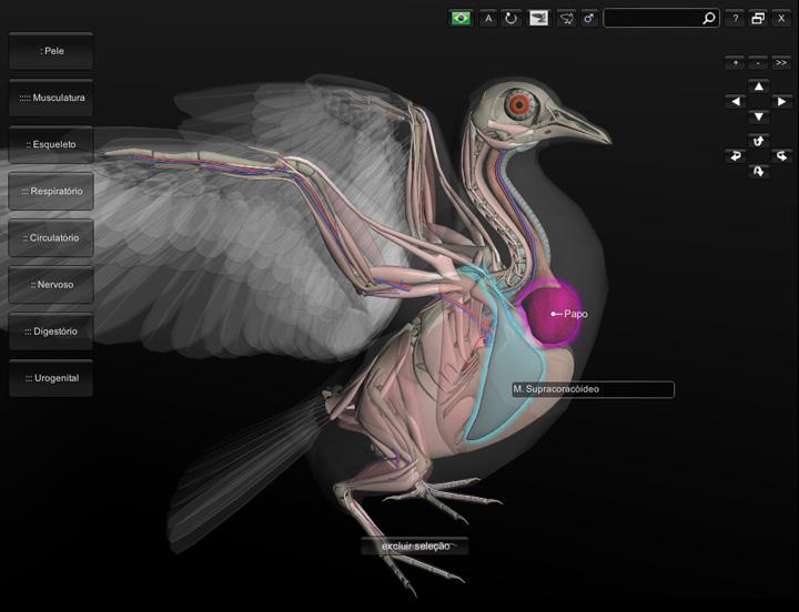 anatomia do pombo