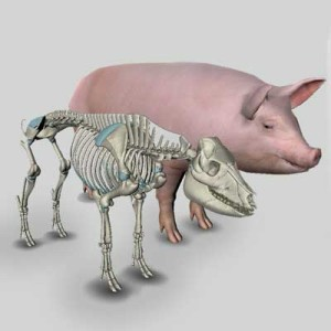 pig-anatomy-thumb