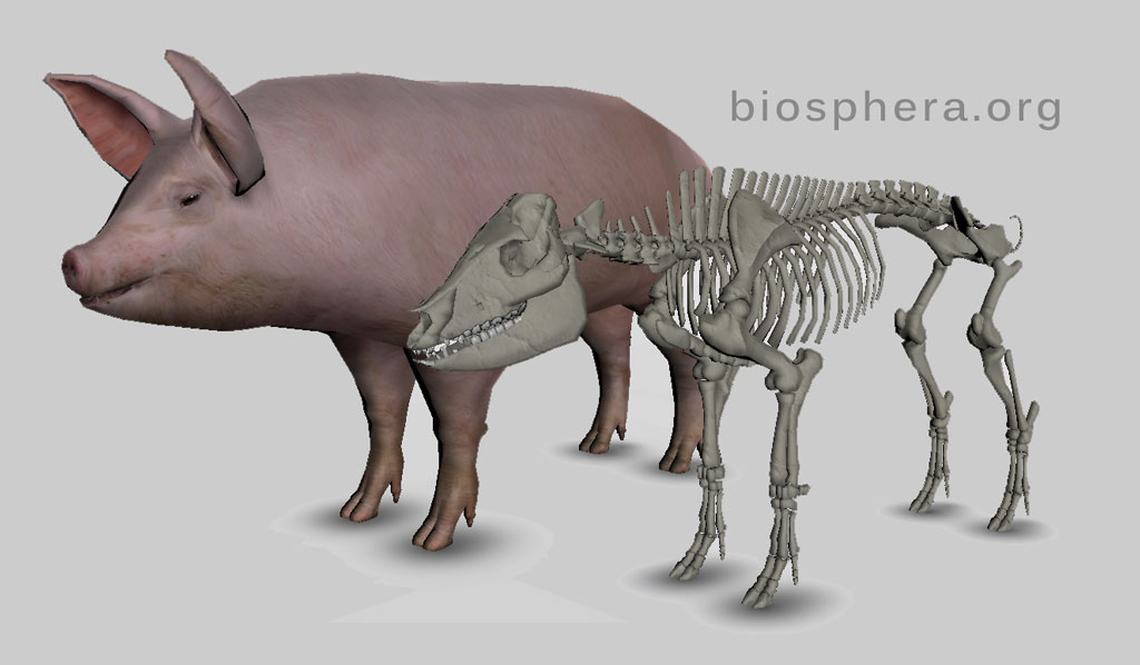 anatomia do porco 3d