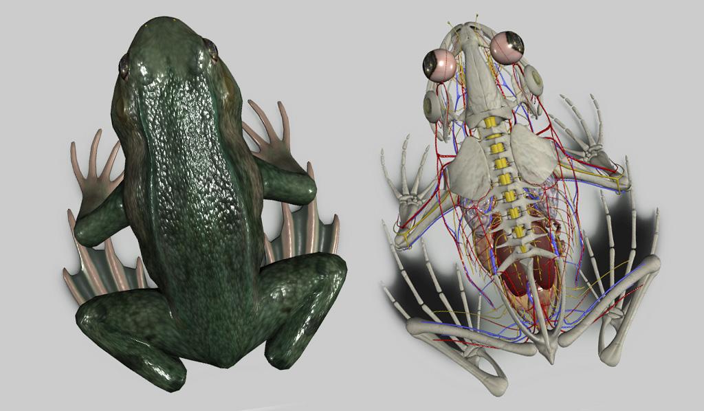 anatomia do sapo