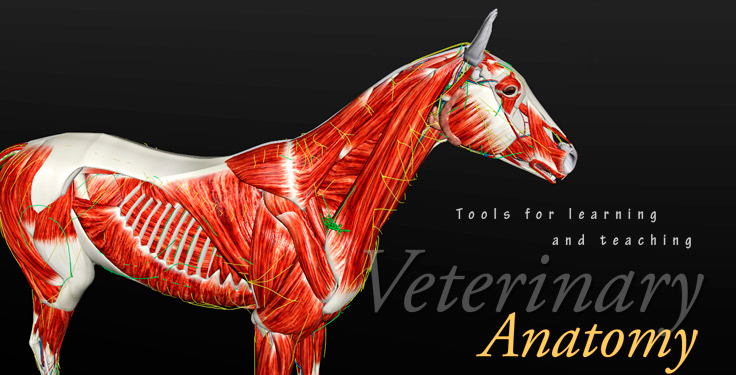 horse muscle 3d