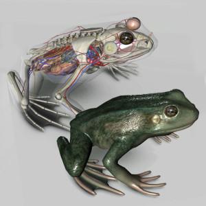 3d-frog-anatomy-thumb