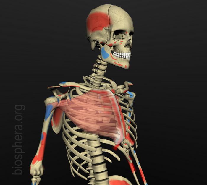 musculatura - origens e inserções