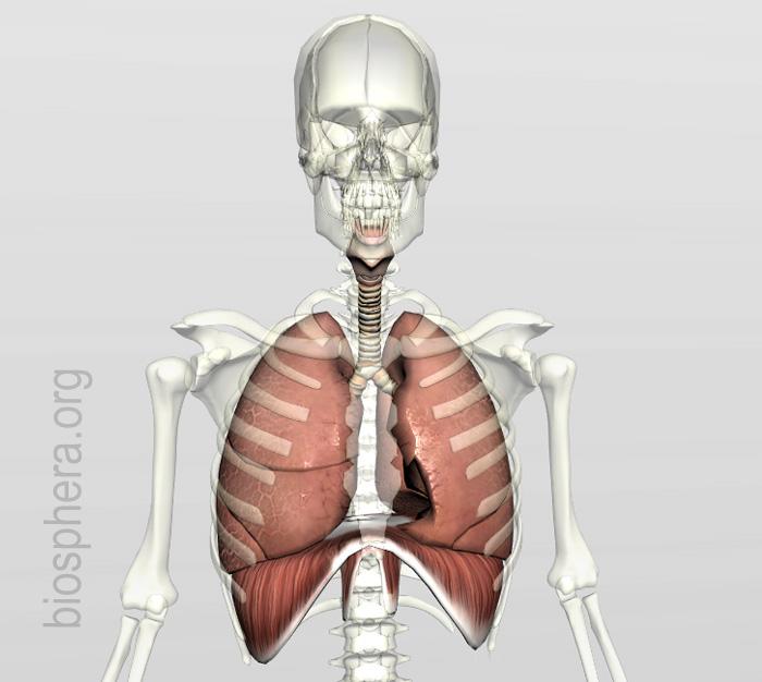anatomia humana - sistema respiratório