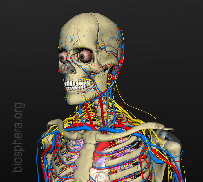 anatomia humana - sistema nervoso e circulatório