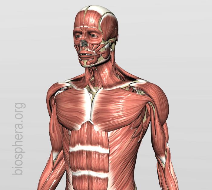 anatomia humana - musculatura