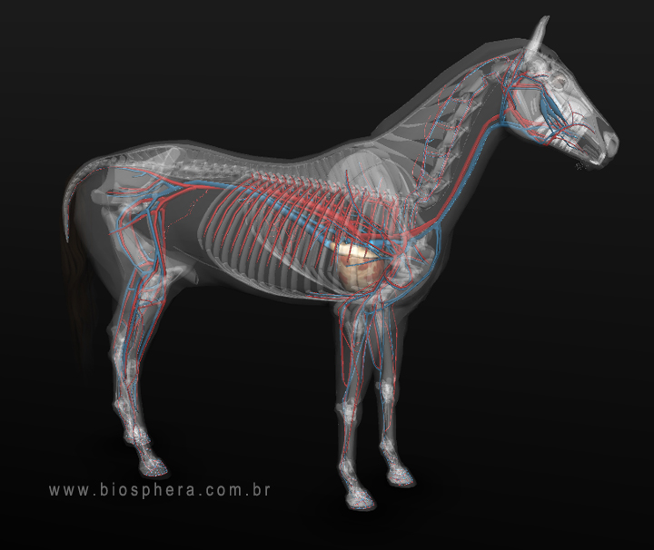 Equine anatomy circulatory:arteries and veins