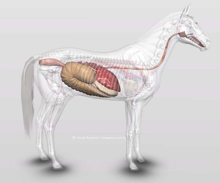 sistema digestório cavalo 3d