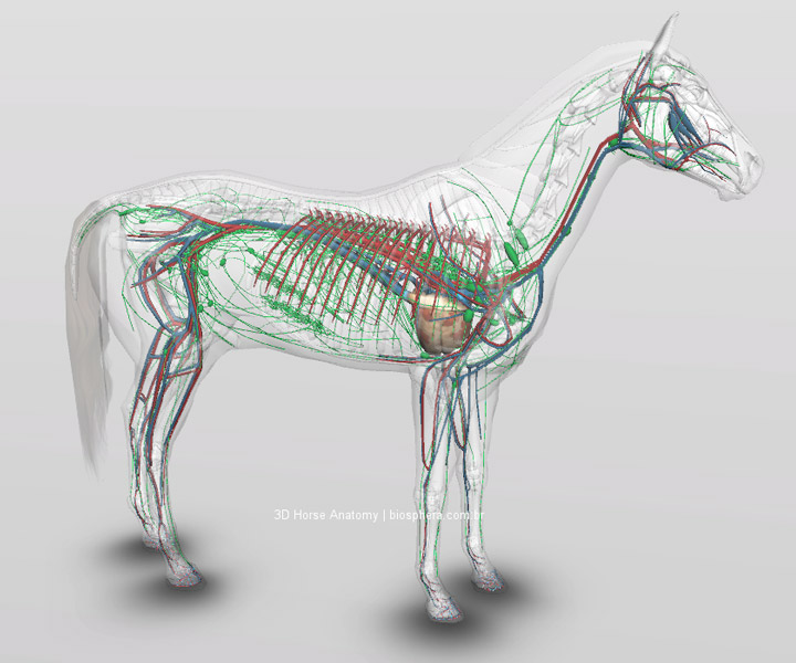 anatomia interna do cavalo 3d mangalarga