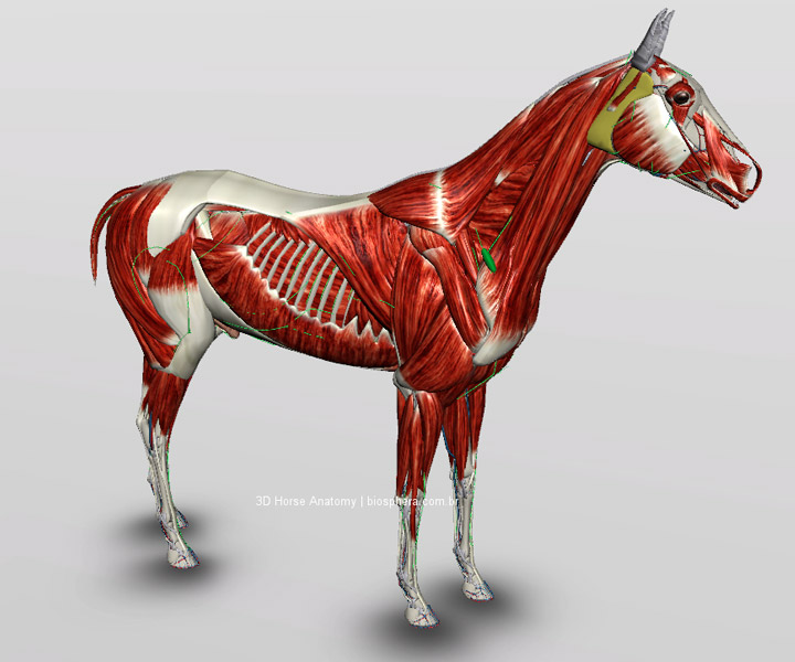 Veterinary Horse Anatomy - Muscles