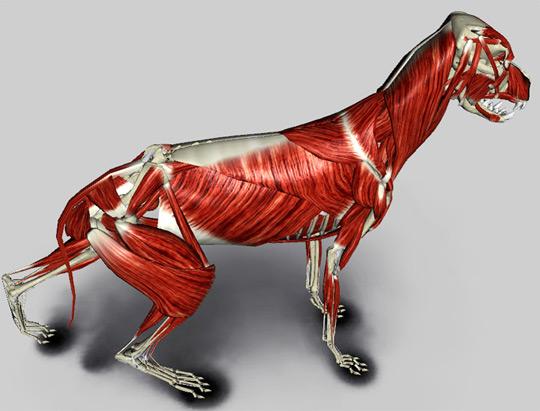 sistema muscular do cão