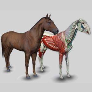 anatomia equina em 3d