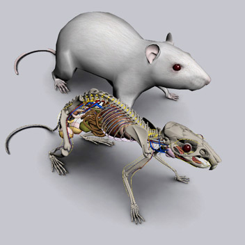 3D Rat Anatomy Software - biosphera org