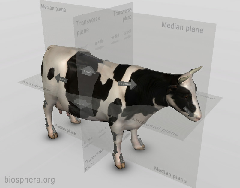 The First Version Of 3d Bovine Anatomy Software Is Ready