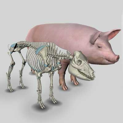 3d pig anatomy software biosphera org Abdominal Arteries Diagram 3d pig anatomy software