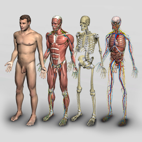 3d human anatomy introduction software - biosphera, Muscles