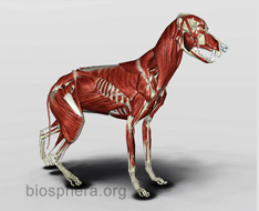 veterinary dog anatomy - Muscles